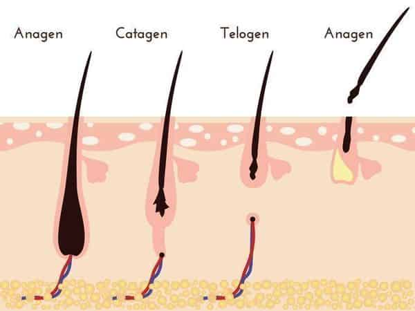 ヘアサイクル(毛周期)の仕組みを完全図解!髪の毛の成長期間を延ばす方法とは?