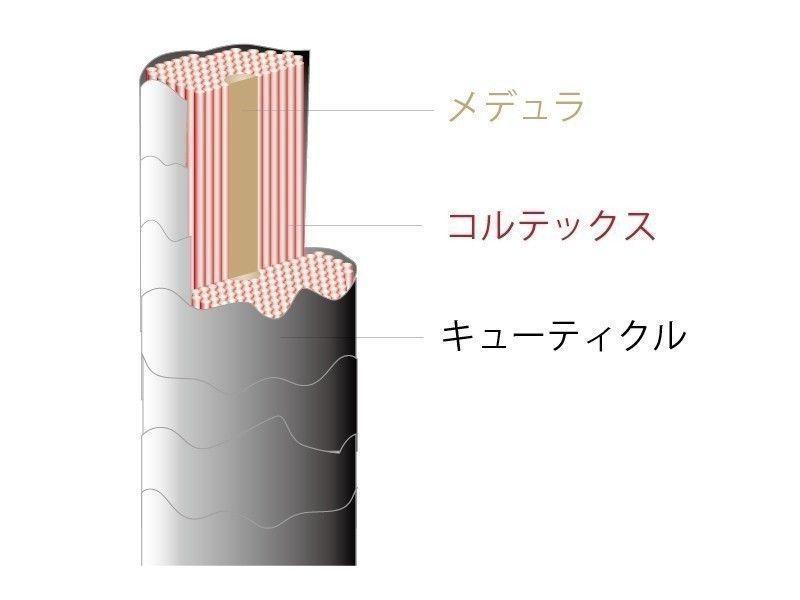 髪質 髪の構造