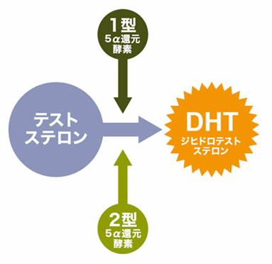 ノコギリヤシ 男性ホルモン(テストステロン)、5αリダクターゼに作用する