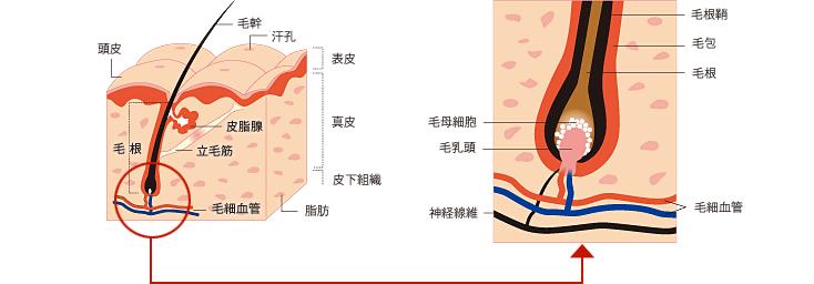 成長因子(グロースファクター) 毛母細胞の活性化