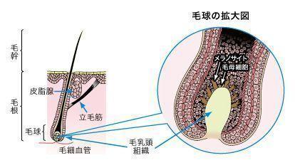 成長因子(グロースファクター) ①毛母細胞を活性化する