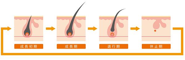 育毛剤 眉毛のヘアサイクル