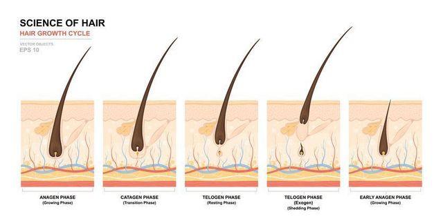 初期脱毛 ヘアサイクルと薄毛抜け毛の関係